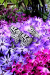 Paradise of Butterfly II
