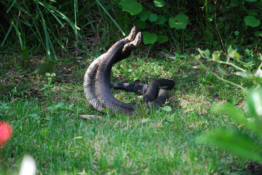 water moccasin mating 2 by nightowl