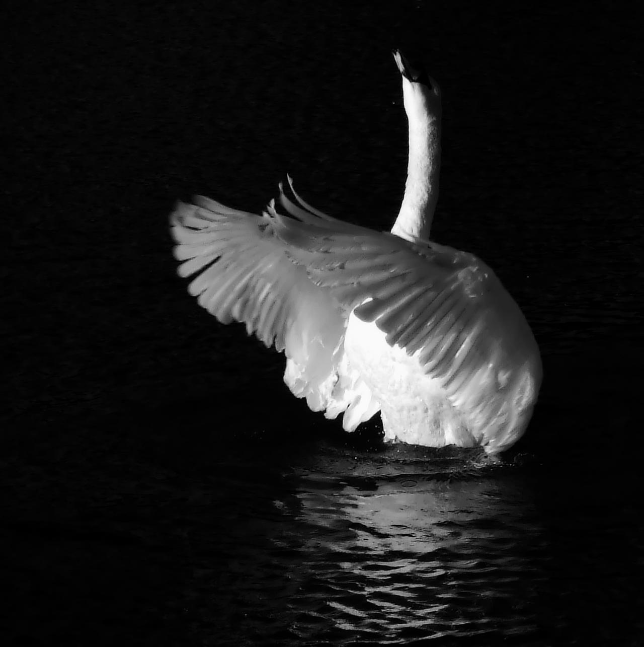 Swan Song by Bazz-photography on DeviantArt