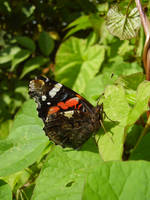 Red Admiral I by denvish