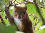 Squirrel on the hazel by MrBeholder