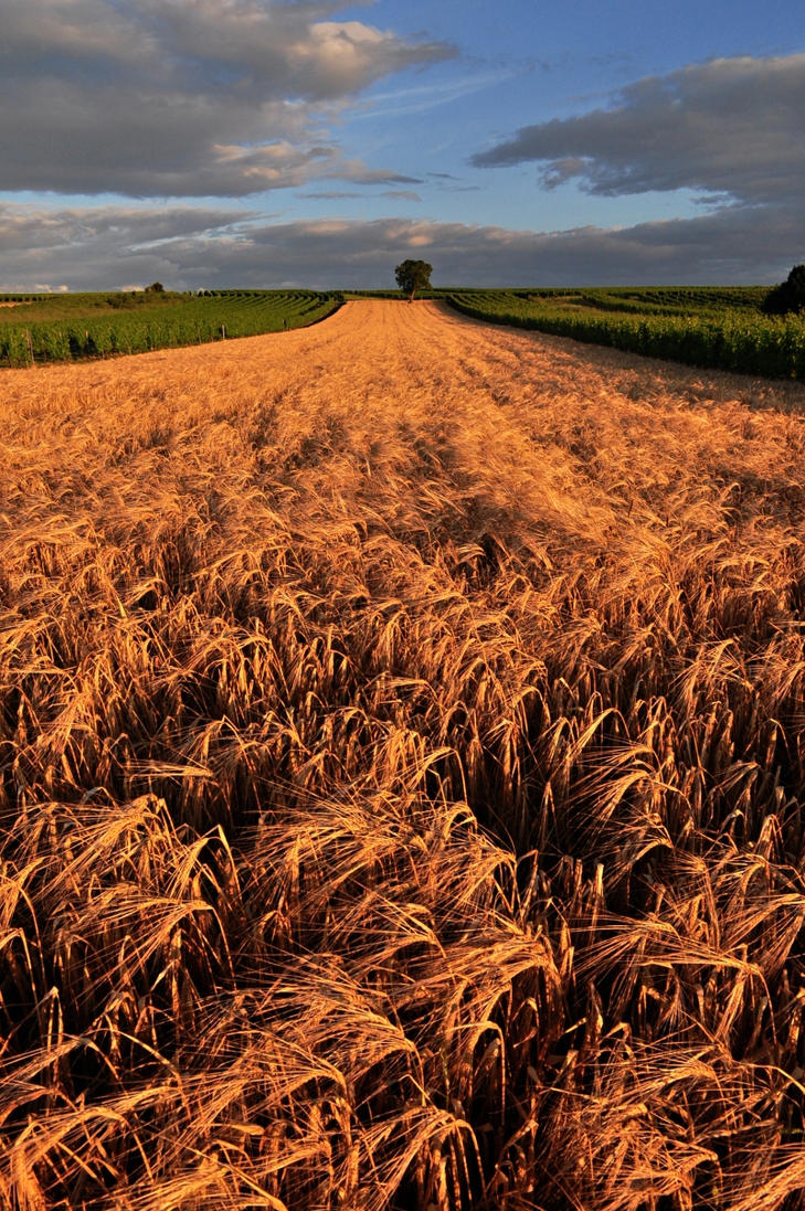 cornfield by Mynyny