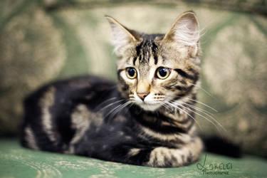 Kitten by Lorelei-Photographie