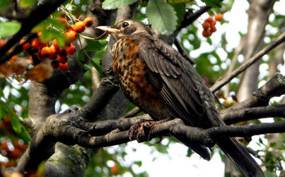 Young robin in a Mountain Ash tree
