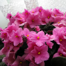 African Violets by laurelrusswurm