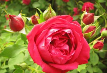 Rose 7716