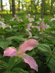 Field of Trilliums by laurelrusswurm