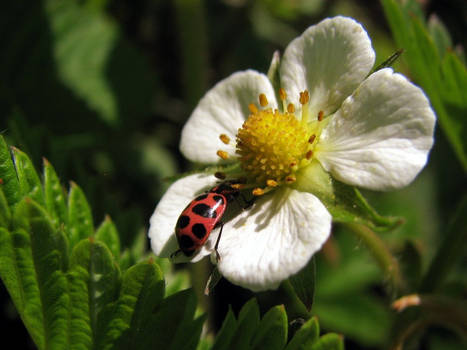 Ladybug on a wild strawberry blossom