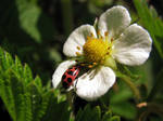 Ladybug on a wild strawberry blossom by laurelrusswurm
