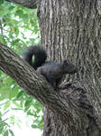 Black Squirrel by laurelrusswurm
