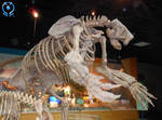 Megalonyx (Ground Sloth) Fossil