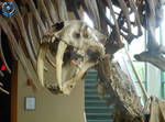 Smilodon (Saber-Toothed Cat) Fossil