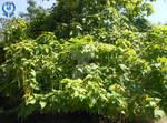 Catalpa Tree (Beanpod Trees)