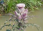 Thistle (Thorny Plant)