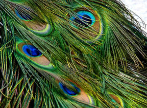 Stock Photo: Peacock Feathers