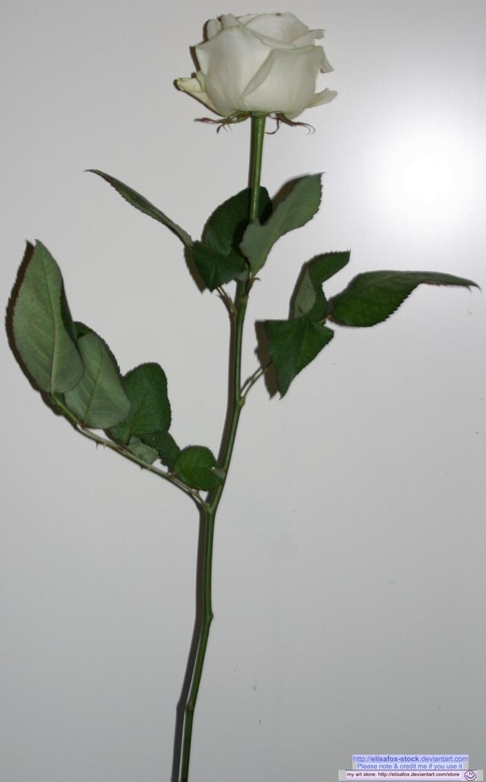 stock full white rose by elisafox-stock