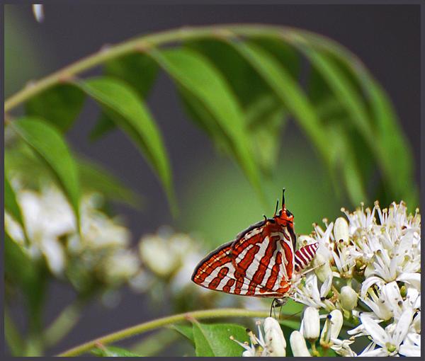 Hair streak butterfly by freudian-slips