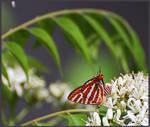 Hair streak butterfly
