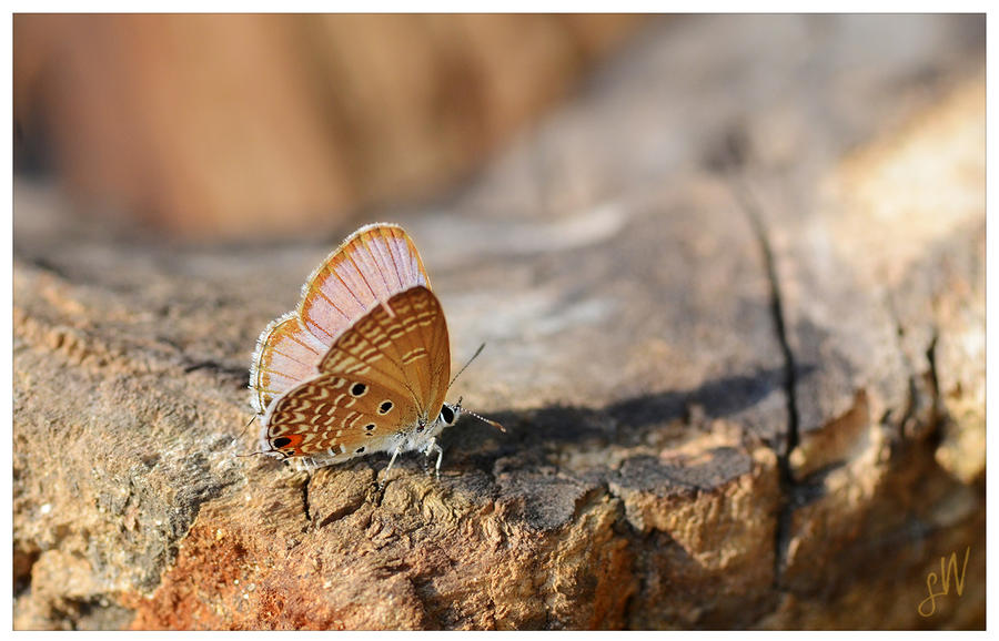 The Plains Cupid butterfly by freudian-slips