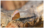 The Plains Cupid butterfly