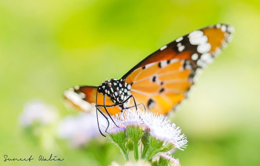 Plain tiger butterfly by freudian-slips