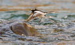 White browed wagtail midflight