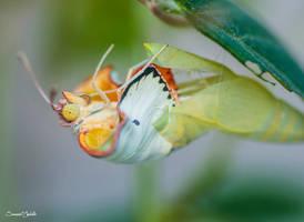 Mottled Emigrant butterfly emerging