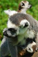 Ring tailed lemurs / twins / lemury katta by TalaStrogg