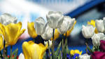 Tulips and Blue