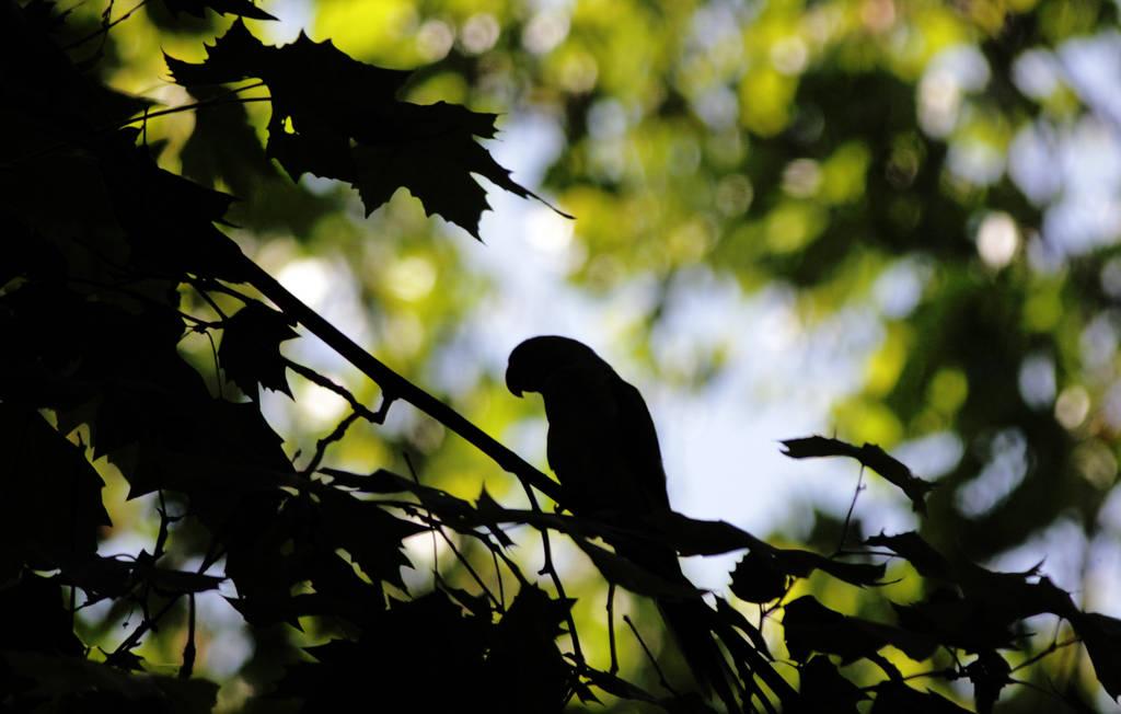 Parrot Siluette by dorukkirezci