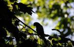 Parrot Siluette
