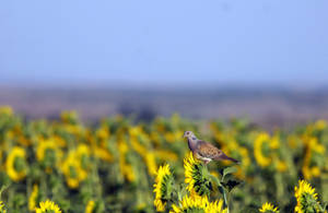 Sun Flower Lover by dorukkirezci