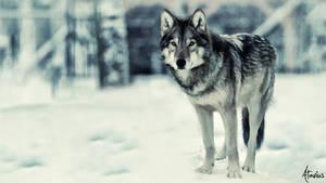 Wolf by Atavius