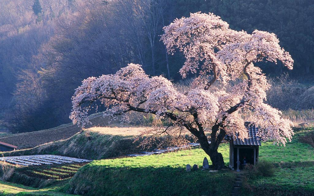 ~Cherry tree~ by KumikoTsubaki