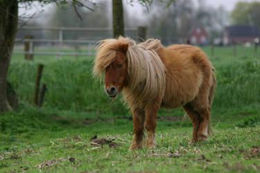 Shetland pony stock by Visibre