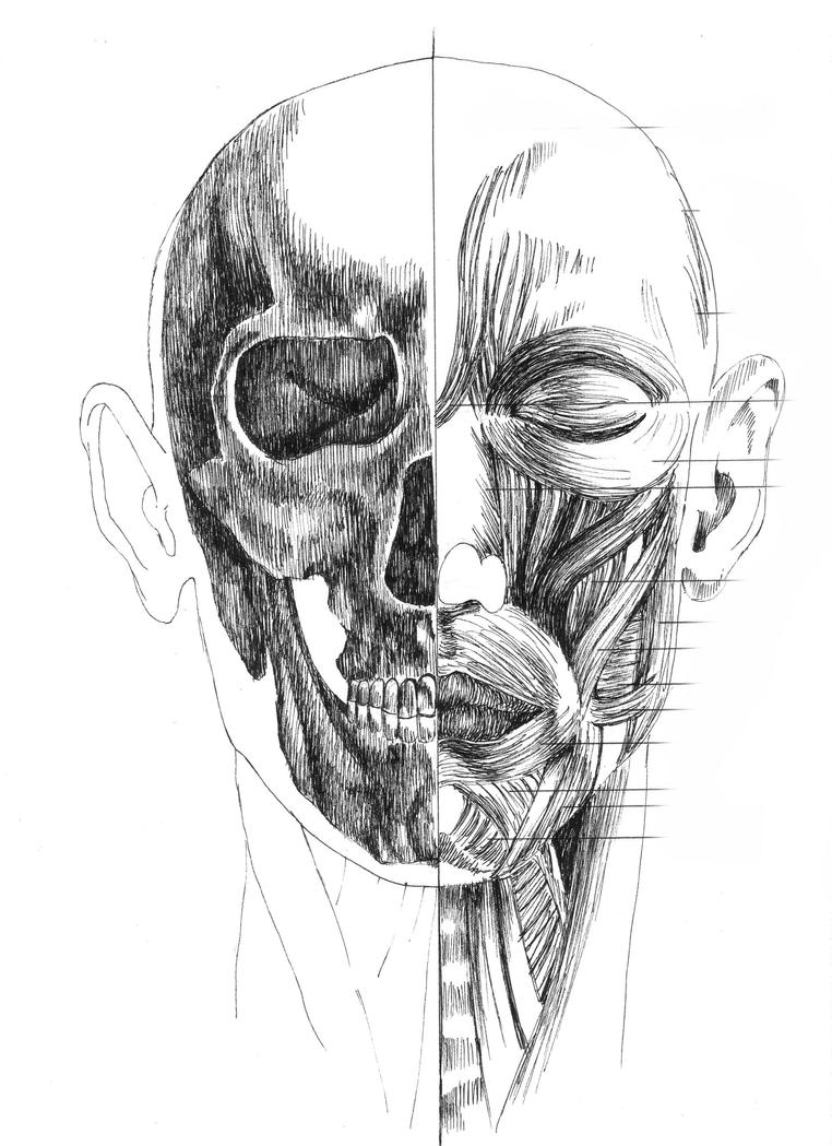Anatomy- skull, facial muscle by AiutanteDiLittleElf on DeviantArt