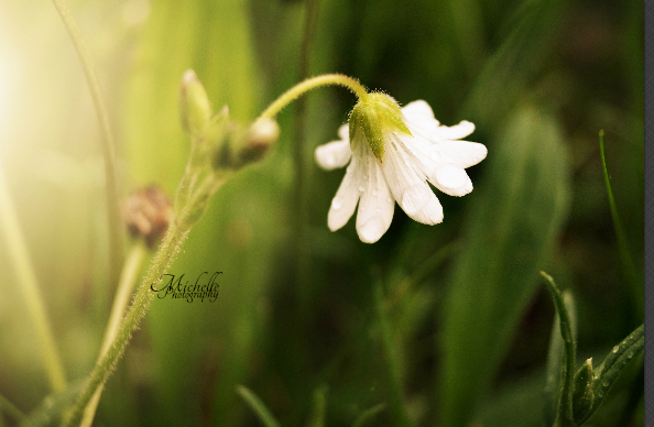 Little white flower by MichisArt