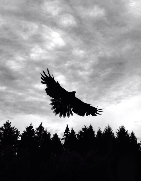 Harris' hawk by hiropon056