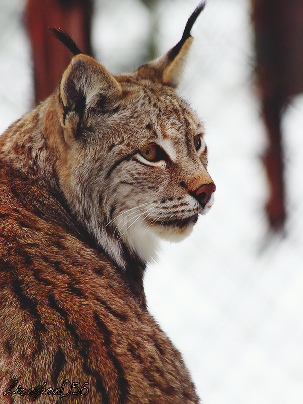 eurasian lynx by hiropon056