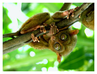 Tarsier by wioombeen