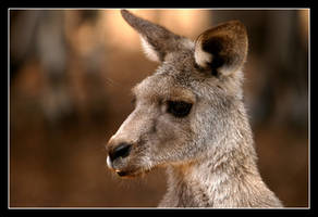 Kangaroo by WindCrest