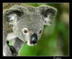 Koala by WindCrest