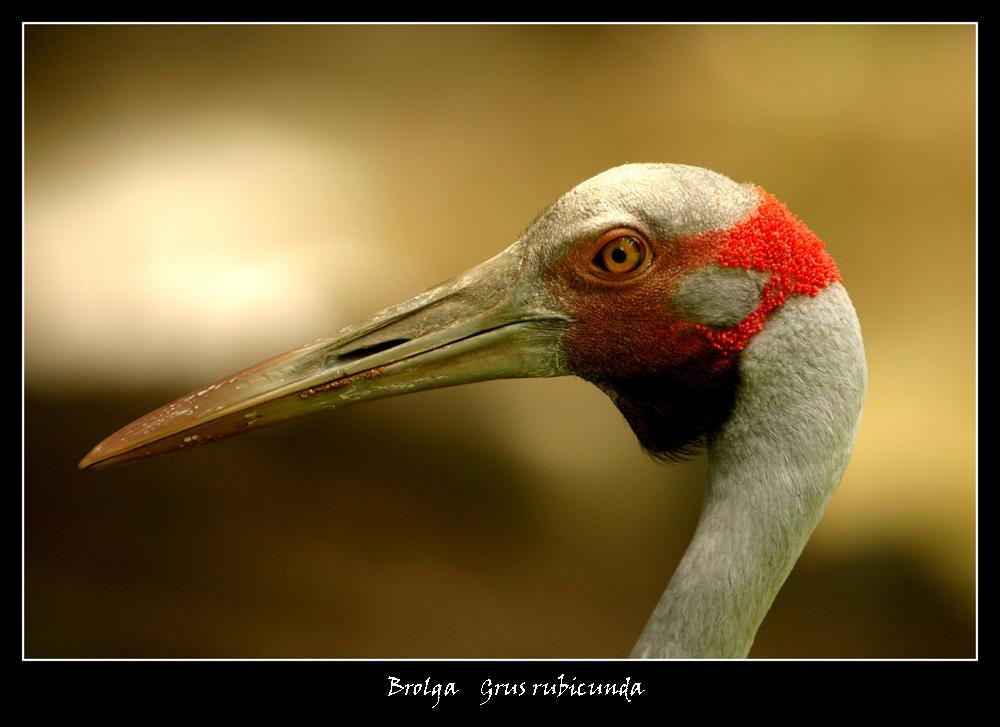 Brolga by WindCrest
