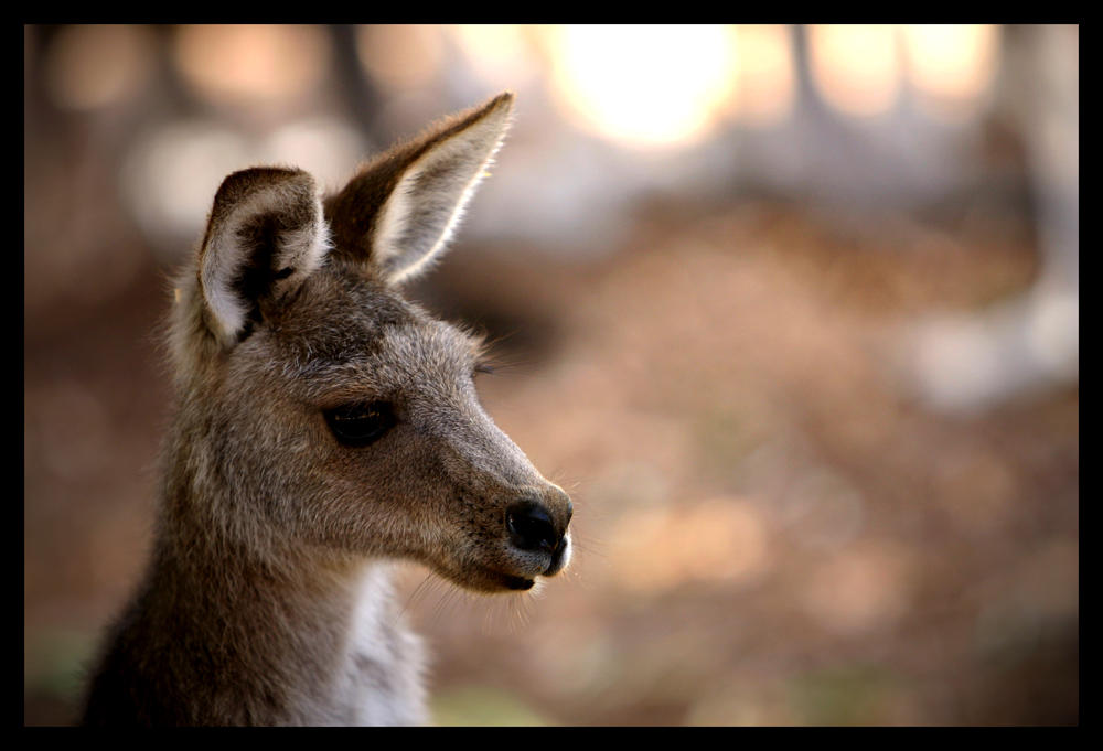 Kangaroo ll by WindCrest