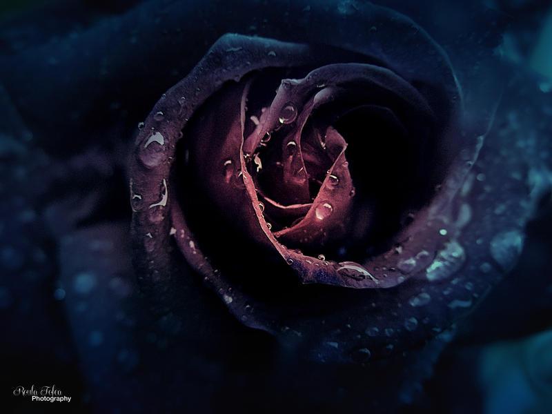 Rose by kouki1