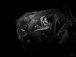 dark rose 2