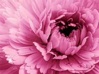 Pink by kouki1