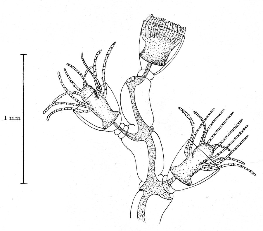Obelia Diagram Of Labeled Diagram Of Obelia Medusa Googlea4 Com