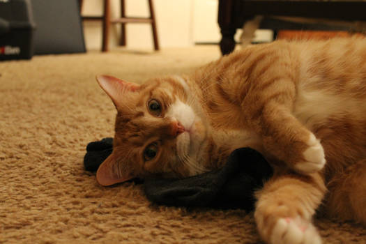 Cat With Sock 2