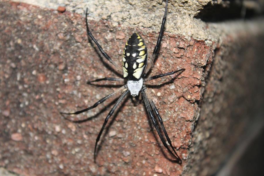 Yellow And Black Garden Spider By Bradleyblazed On Deviantart